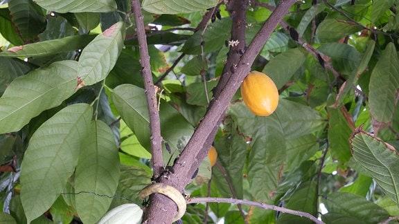 Kakaobaum mit grünen und orangen Früchten.