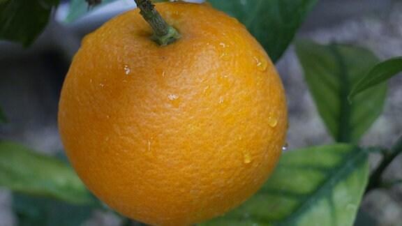Eine orangene Orange am Orangenbaum