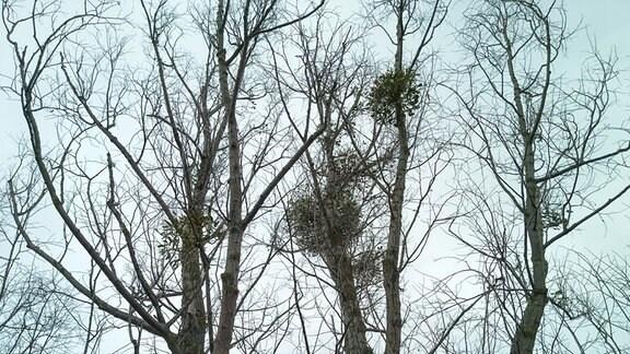 Baum mit mehreren Misteln