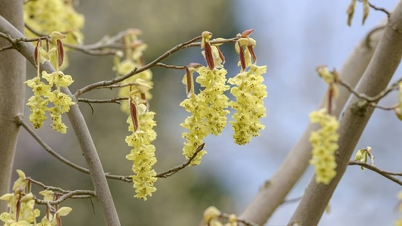 Strauch mit hängenden Blütenähren
