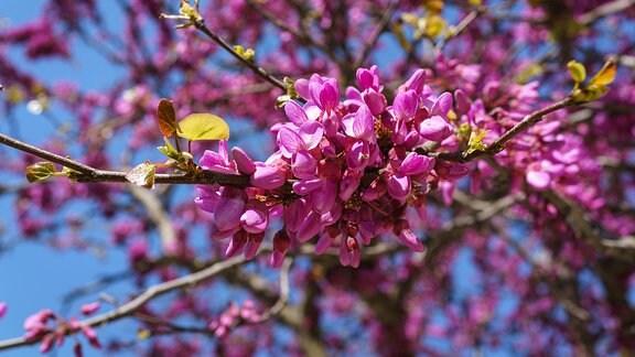 Blühender Judasbaum