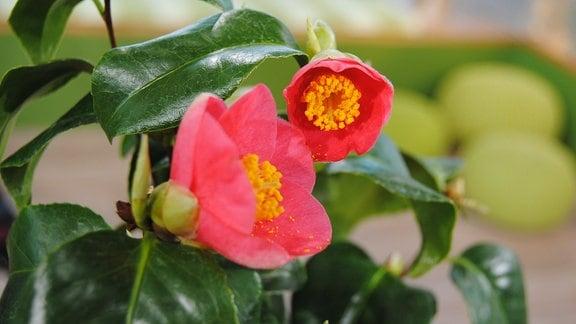 Rote Blüten eines Ablegers der Pillnitzer Kamelie