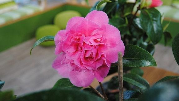 Pink blühende Kamelie der Sorte Debbie