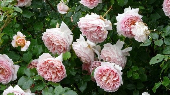 Rosa blühende Strauchrose der Sorte 'Abraham Darby'