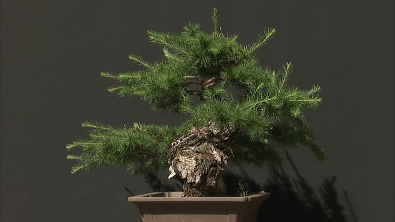 Bonsaibaum in Schale