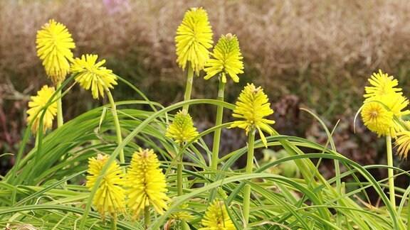 Fackellilie-Limelight
