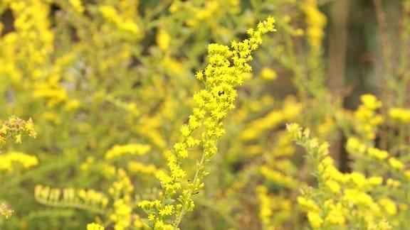 Goldrute Feuerwerk Blüte