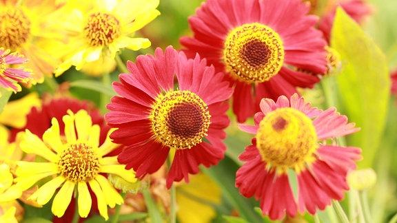 Sonnenbraut Poncho Blüten