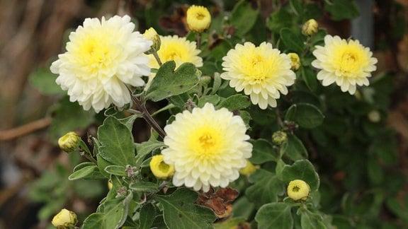 Winteraster-Poesie-Blüten