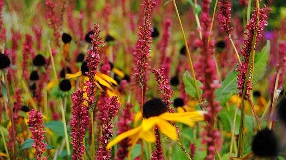 Rote Blüten des Kerzen-Knöterich mit Tautröpfchen und gelbe Blüten des Sonnenhut