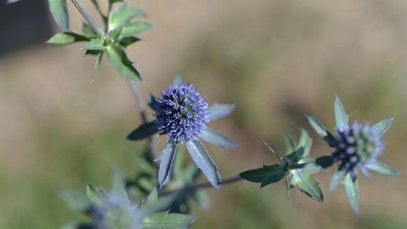 Blüten der Edeldiestel Blauer Zwerg