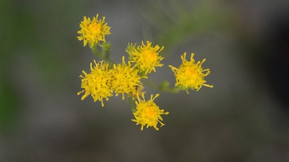 Gelbe kleine Blütenknöpfe der Goldhaaraster
