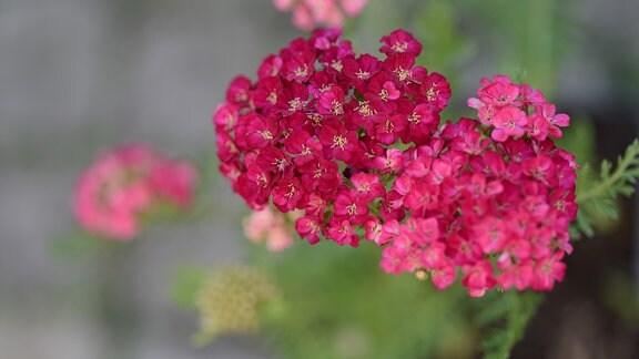 Rosarote Blüten der Scharfgarbe