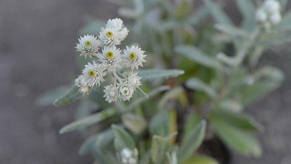 Hübsche kleine weiße Blüten des Sommerschnee Perlkörbchens.