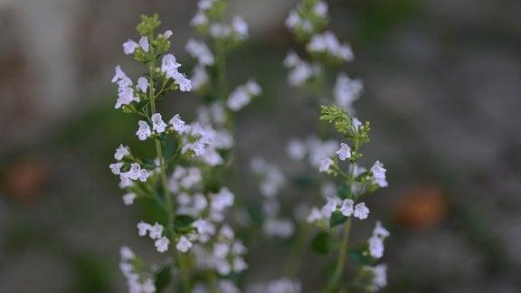 Blüten der Bergminze