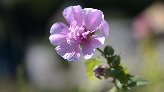 Rosa Blüte der Stockrose