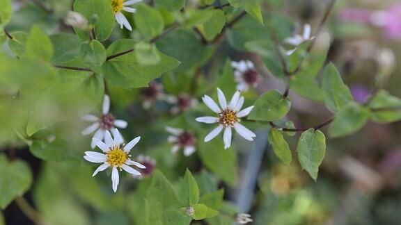 Weiße Blüten der Herbstaster