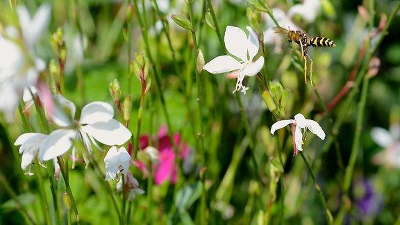 Ein Insekt fliegt eine weiße Gaurablüte an