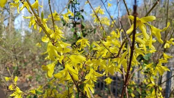 Gelbe Blüten an einem Forsythiastrauch.