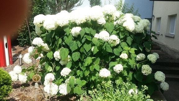 Weiße, runde Blüten einer Ballhortensie.