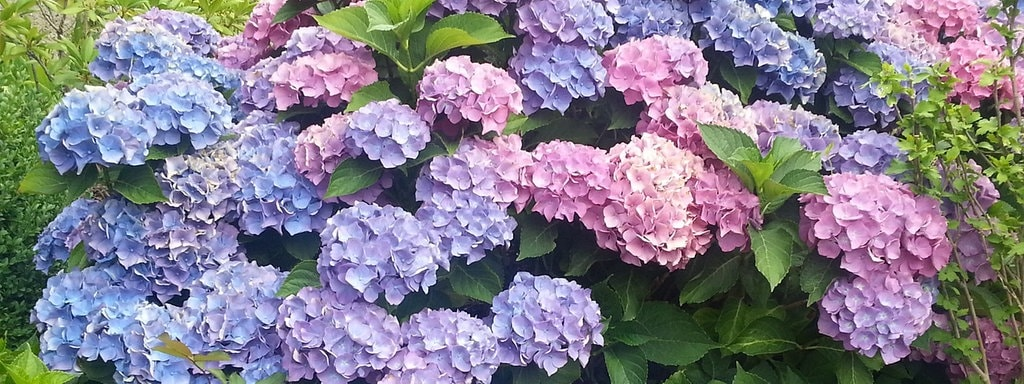 Fabelhaft Hortensien pflanzen und pflegen | MDR.DE @YT_18