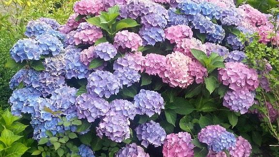 Lila und rosa Blüten einer Bauernhortensie