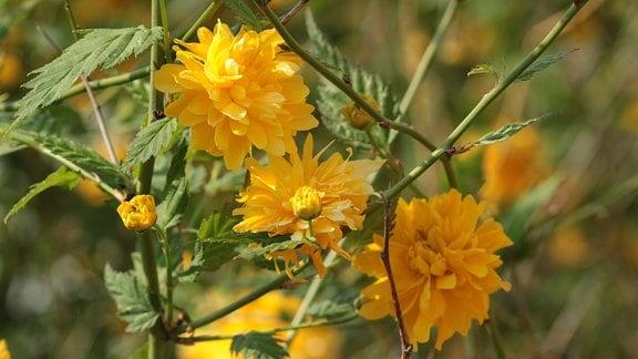 Gelbe Blüten des Ranunkelstrauchs.