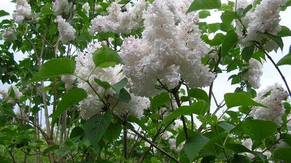 Blüten eines Fliederstrauches mit gefüllten Blüten.