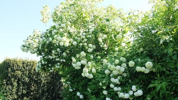 Stattlicher Strauch eines Schneeballs mit weißen, runden Blüten.