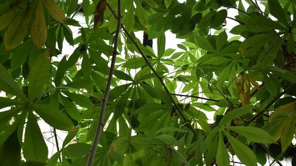 Blick in die Krone einer Maniok-Pflanze