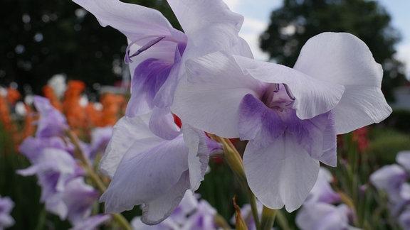 Blüte der Gladiole 'Novara'