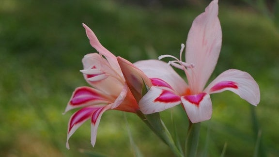 Blüten der Gladiole 'Impressive'