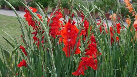 Beet mit Gladiolen der Sorte 'Traderhorn '