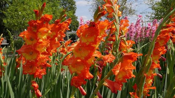 Beet mit Gladiolen der Sorte 'Princess Margaret 'Rose'