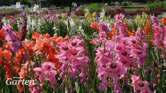 Verschiedene Gladiolen