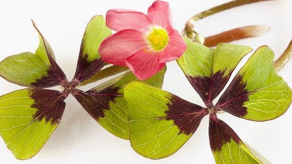 Glücksklee mit Blüte