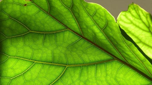 Nahaufnahme geigenblättriger Gummbaum