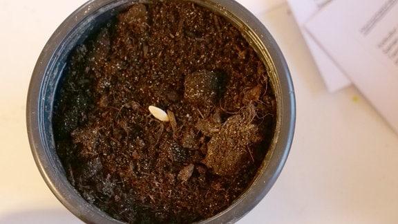 Ein Gurkenkorn in einen 8 cm Topf - Ein Gurkensame liegt in einem kleinen, mit Erdgefüllten Blumentopf.