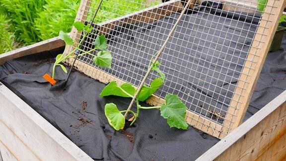 Zwei Gurkenplanzen auf Hochbeet mit Rankhilfe.