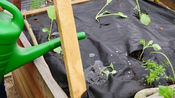 Mit einer Gießkanne werden Gemüse-Jungpflanzen angegossen.