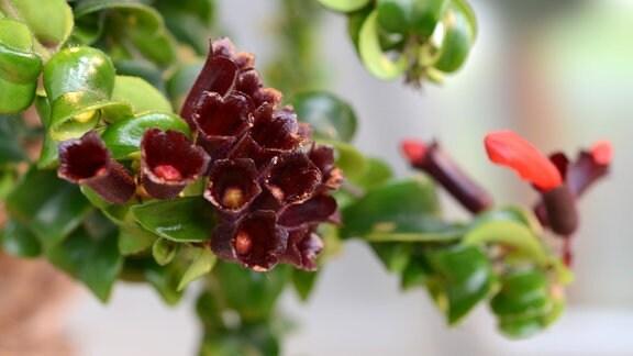 Blüten einer Aeschynanthus speciosus
