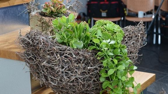 Eine Urnenpflanze in einem Übertopf aus kleinem Astwerk