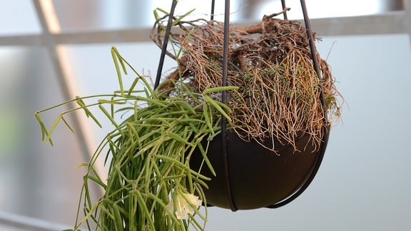 Hoya in einer Blumenampel