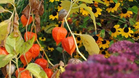 Orangerote Früchte der Lampionblume in einem Beet im Herbst