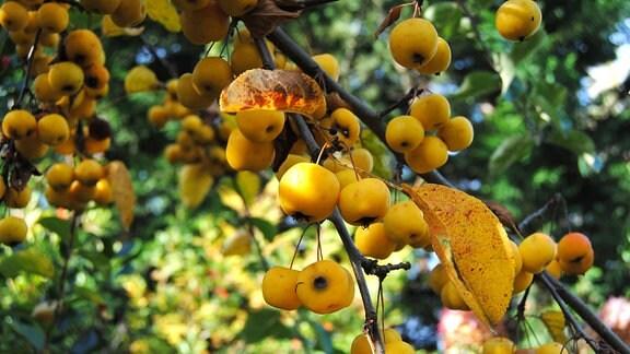 Früchte an einem Zweig vom Zierapfel der Sorte Butterball