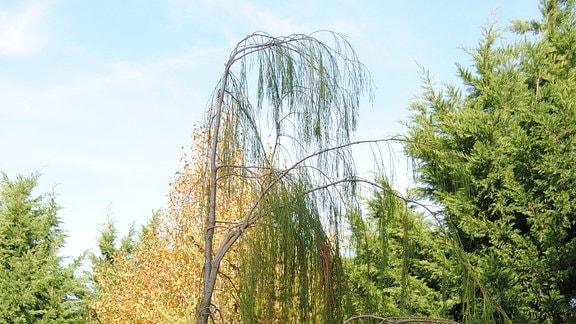 Ein hoher, immergrüner Baum in einem Beet mit Lampionblumen