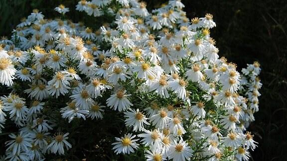 Kissen-Aster mit zahlreichen weißen Blüten