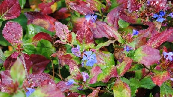 Chinesische Bleiwurz, auch Hornnarbe genannt, mit blauen Blüten und grün-rötlich gefärbten Blättern