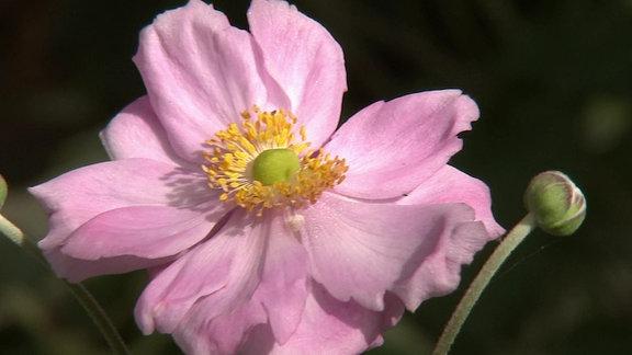 rosa Herbstanemone