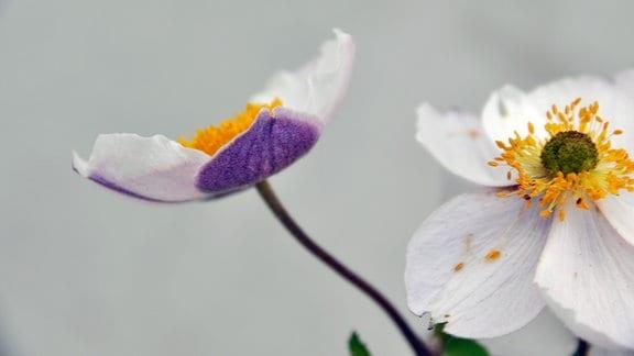 Herbstanemone (Sorte: Anemone x culturum 'Elfin Swan')